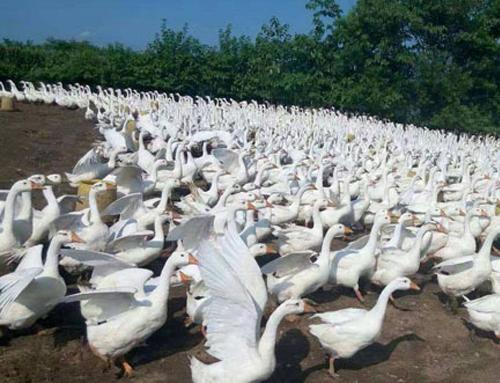 种鹅种鸭养殖