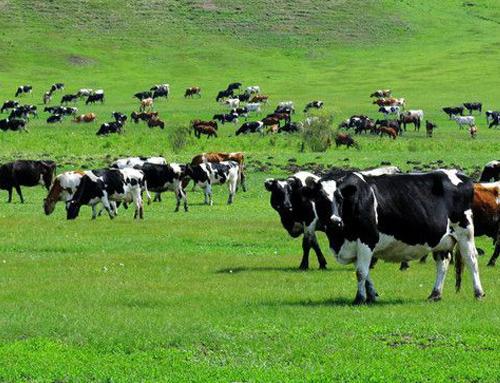 冬季给肉牛喂饲料的注意事项