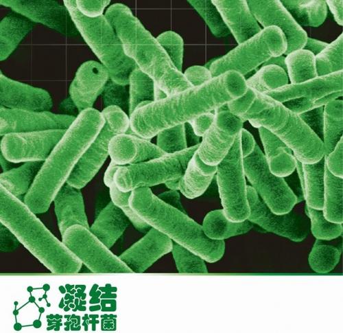 凝结芽孢杆菌